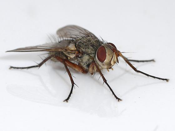 fly - Cryptomeigenia
