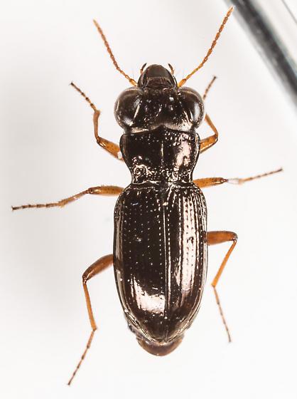 Beetle - Notiophilus aeneus - male