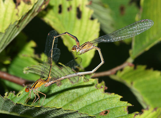 mating Orange Bluets - Enallagma signatum - male - female