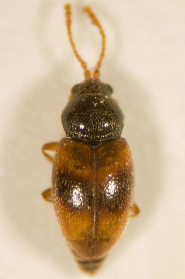 Beetle ID - Atomaria ephippiata