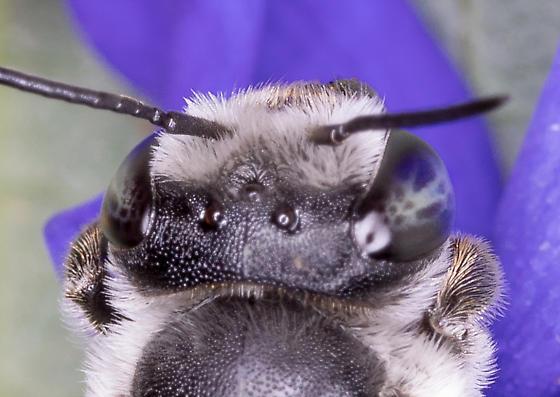 Leafcutter Bee  - Megachile texana - female