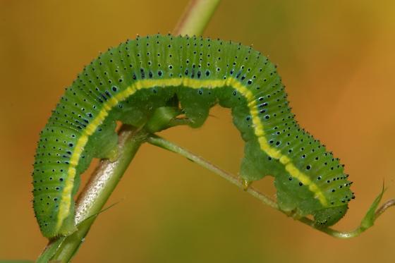 Cloudless Sulphur Caterpillar - Phoebis sennae
