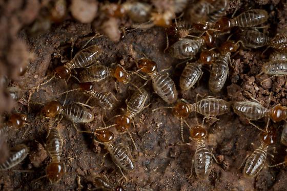 Higher Termites - Tenuirostritermes tenuirostris - female