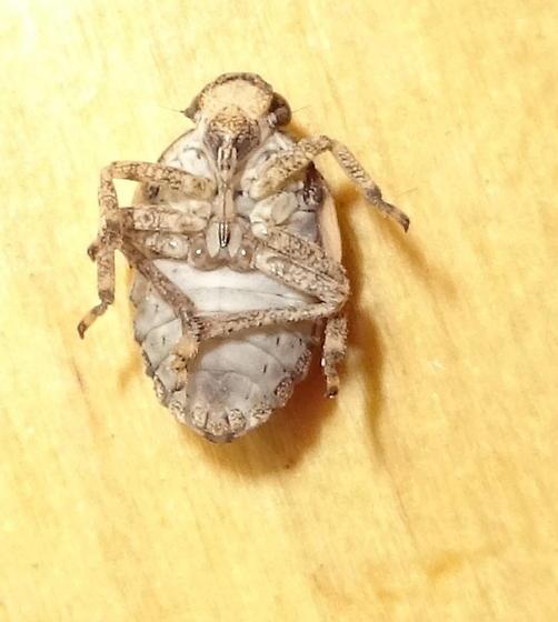 Leafhopper nymph ?