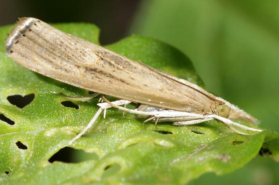 Parapediasia? - Parapediasia teterrellus