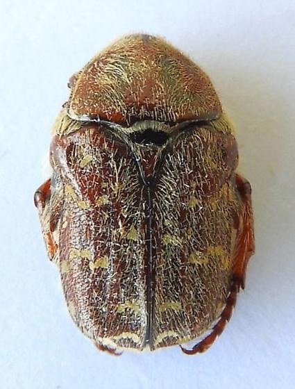 Arizona Beetle - Euphoria leucographa