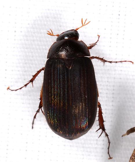 beetle with iridescence - Maladera castanea