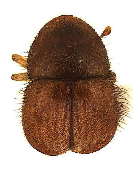 Xylosandrus mutilatus (Blandford) - Cnestus mutilatus - male