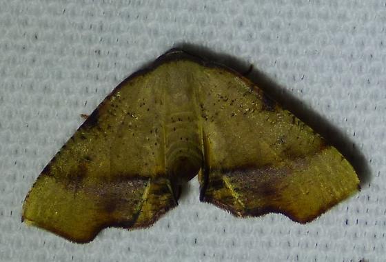 Plagodis phlogosaria - Straight-lined Plagodis  - Plagodis phlogosaria