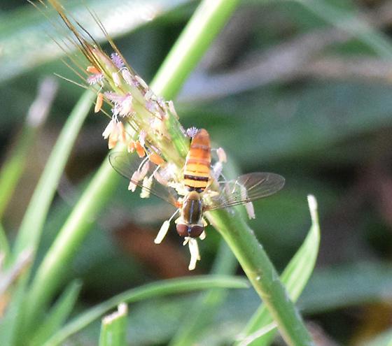 Syrphidae - Toxomerus politus