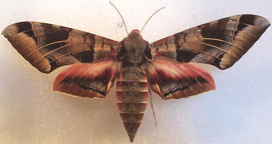 Eumorpha typhon - female