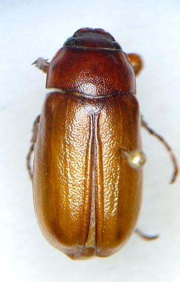 Phyllophaga forbesi - male