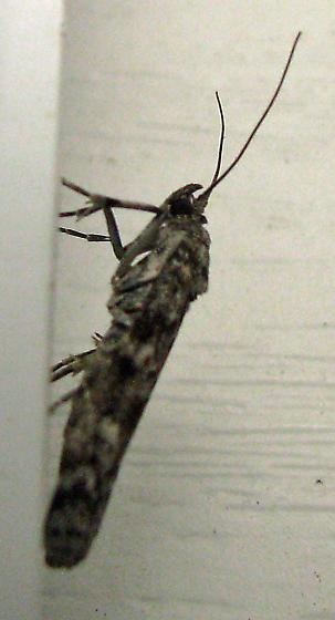 moth? - Dioryctria abietivorella