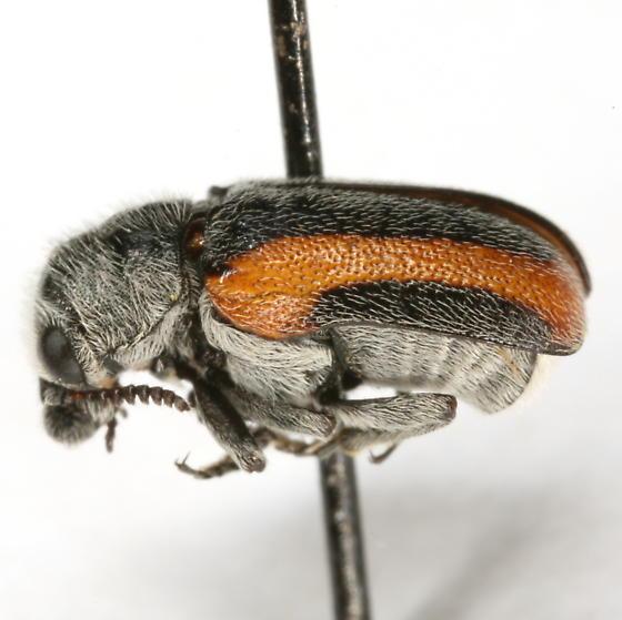 Stripped Coleothorpa - Coleothorpa vittigera
