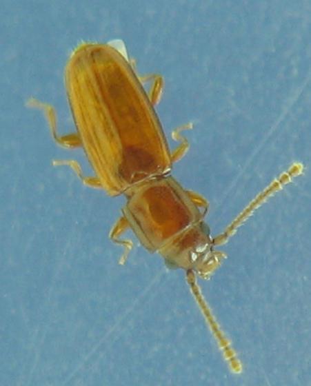Tiny laemophloeids - Placonotus zimmermanni