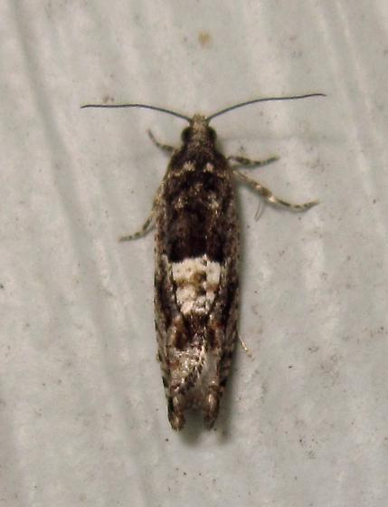Chimoptesis gerulae - Hodges #3272 (Chimoptesis gerulae) - Chimoptesis gerulae