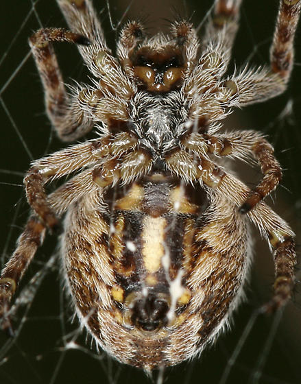 Spider - Aculepeira - female