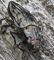 cicada? - Chalcophora fortis