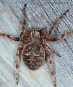 Larinioides patagiatus ? - Larinioides