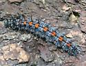 Mourning Cloak caterpillar - Nymphalis antiopa