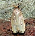 Thelma's Agnopterix Moth - Psilocorsis