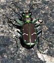 Common Claybank Tiger Beetle - Cicindela limbalis