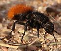 Velvet Ant June 20 - female