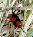 Albemarle velvet ant from 1984 - Dasymutilla occidentalis