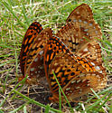 Great Spangled Fritillaries - Speyeria cybele