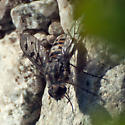 ID for bee fly #2? - Anthrax varicolor