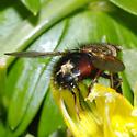 Epalpus species, but which one? - Epalpus signifer