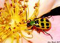 Rose eating beetle - Diabrotica undecimpunctata