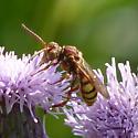 Cuckoo bee - Nomada imbricata