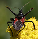 Hands Up! - Apiomerus montanus