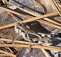 Melanoplus punctulatus - Pine Tree Spur-throat Grasshopper? - Melanoplus alabamae - male