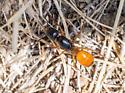 Ant? - Camponotus ocreatus