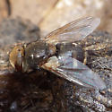 fly ID please - Gonia