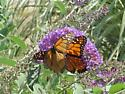 fighting monarchs where body of one is ripped off its wings?