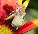 Bee - Diadasia ochracea - female