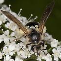 Bee IMG_1256 - Andrena crataegi