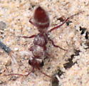 Hairy Wingless Wasp - Typhoctes peculiaris