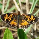 Pearl Crescent - Phyciodes tharos - male