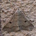 Noctuidae? - Bleptina caradrinalis