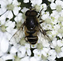 Ladd Canyon syrphid - Eristalis interrupta - male