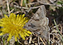 Moth 588A 5377 - Caenurgina