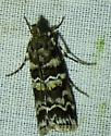 Dioryctria amatella Southern Pineconeworm Moth  - Dioryctria amatella