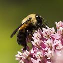 Bumble Bee id help - Bombus griseocollis