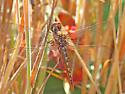 Spot-winged Glider ---- (Pantala hymenea) - Pantala hymenaea