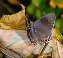 Gray Hairstreak - Wings Open - Strymon melinus
