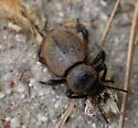Wooly Darkling Beetle in LA County (April) - Eleodes osculans